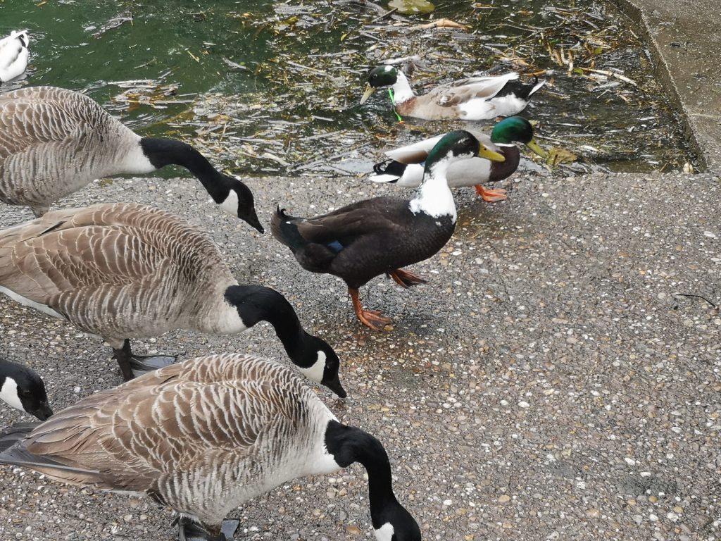 Ducks_02